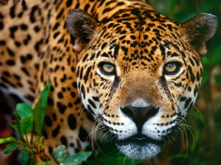 The Jaguar is in greater risk of extinction than formerly thought