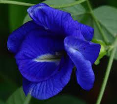 Blue Pea Vine (just keeps on climbin')