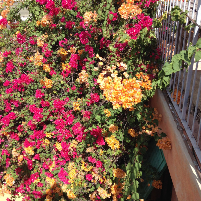 Our Christmas is the color of bougainvillea