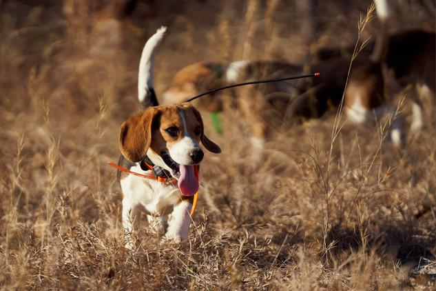 2020-01-05_beagles_a7r3_0169.jpg