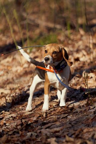 2020-01-05_beagles_a7r3_0056.jpg