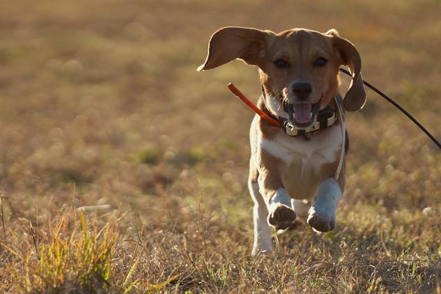 2020-01-05_beagles_a7r3_0567.jpg
