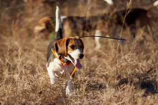 2020-01-05_beagles_a7r3_0170.jpg