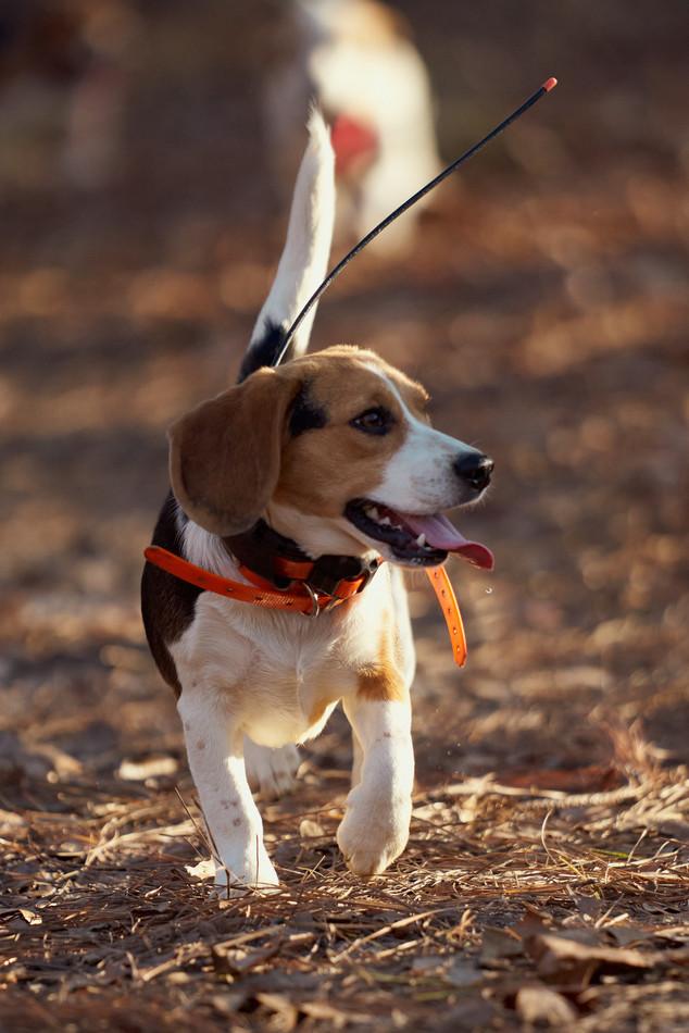 2020-01-05_beagles_a7r3_0372.jpg