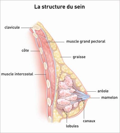 Anatomie du sein en musculation pour femme