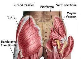 Anatomie des fessiers et fibres musculaires