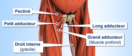 anatomie intérieur des cuisses