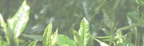 タイトル用茶畑.jpg