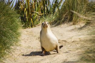 Seelöwe - Neuseeland