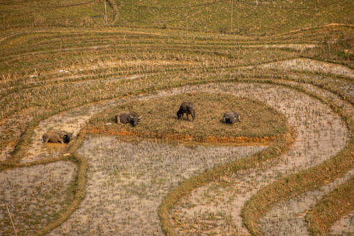 in Vietnam locals use water buffalos to help on the farms and rice terraces