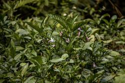 Indigo plant in Sapa Vietnam