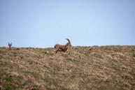 ibex in Austria
