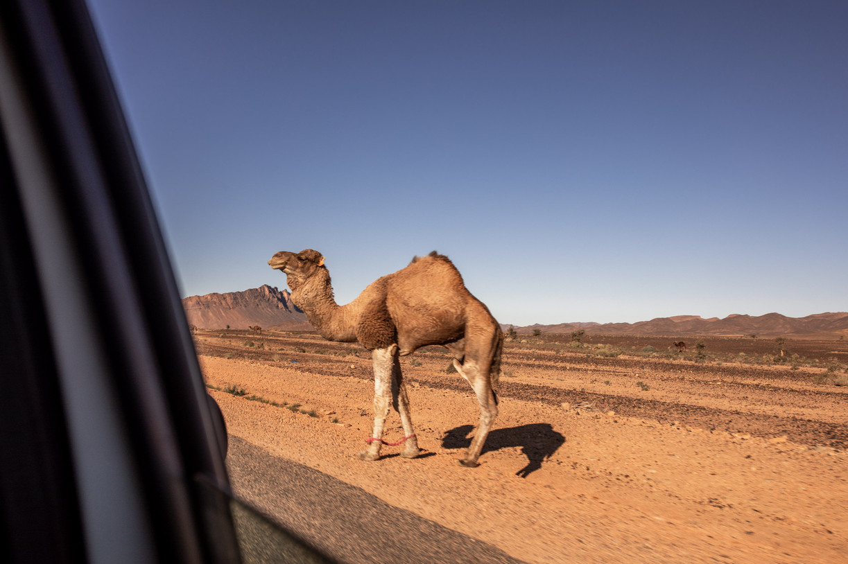 Camels on the Road on our way to Marrakech | Travel and Landscape Photography in Morocco Africa || Bohoray - Adventure Elopement and Wedding Photographer - Victoria Ruef || www.bohoray.com