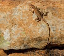 Dragon - Australien