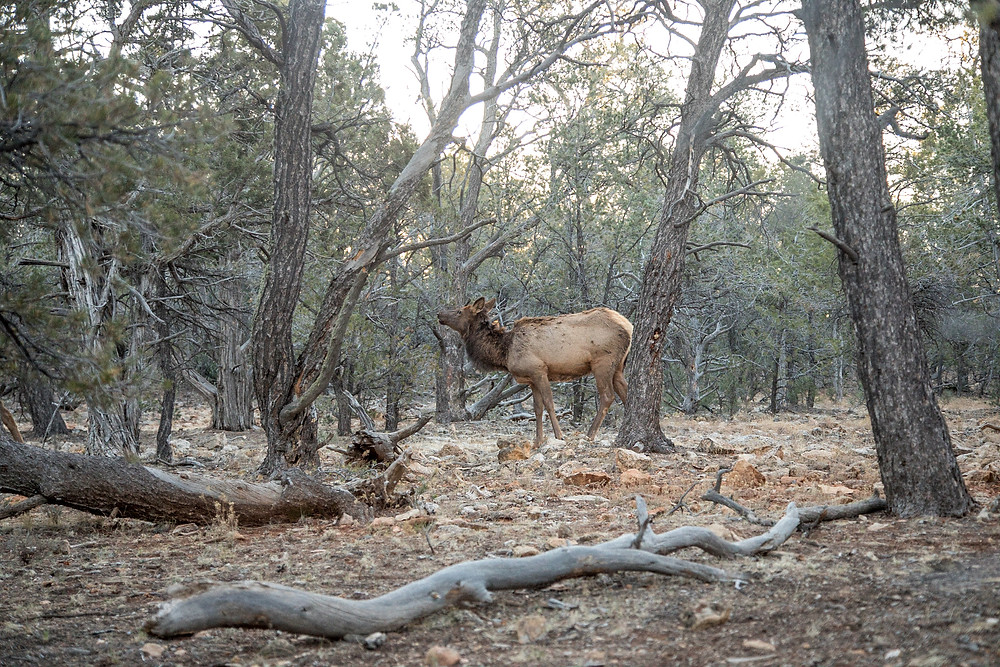 Deer in the Forest near Grand Canyon