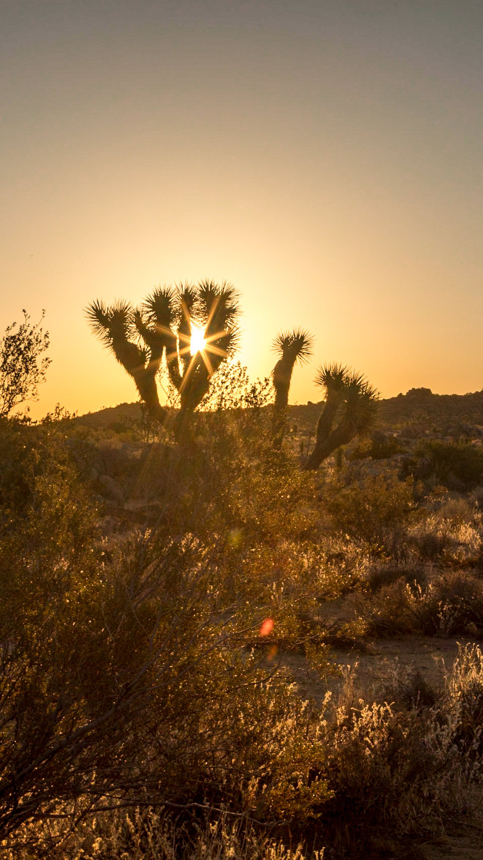 Sunrise behind a Joshua Tree