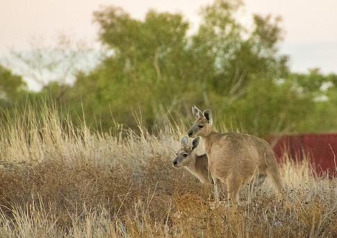 Wallabys - Australien