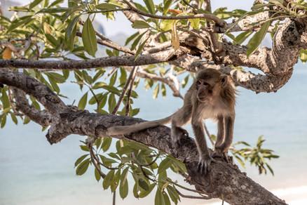 Monkey on a tree at monkey island in Vietnam