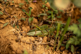 crickets in Vietnam