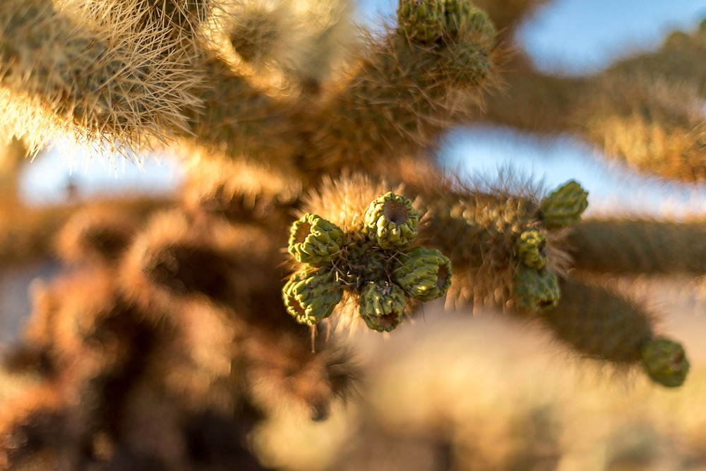 cacti in Joshua Tree NP
