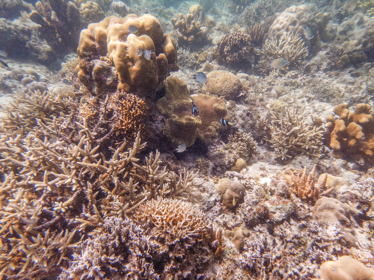 Diving in a coral garden in the philippines