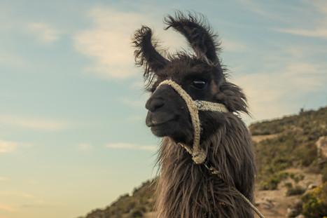 Lama - Bolivien