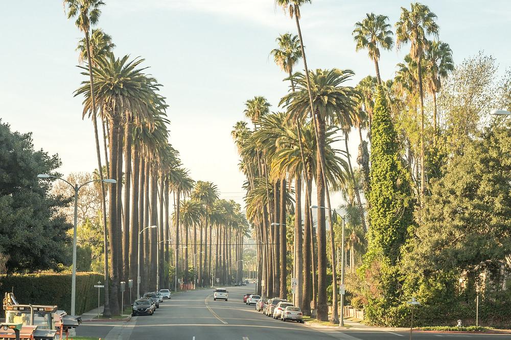 Palm Trees on the roadside in LA