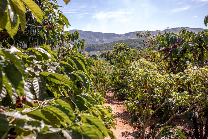 Coffee plantation in Dalat in Vietnam