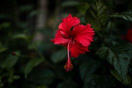 red flower on a tiny island in Ha Long Bay in Vietnam