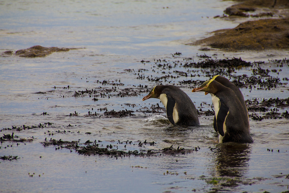 Yellow Eyed Penguins in the South Island of New Zealand