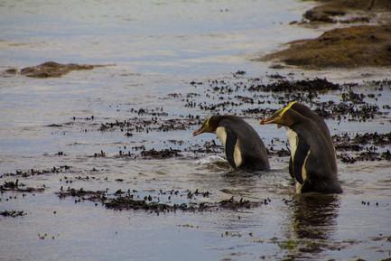 Yellow Eyes Pinguins - Neuseeland