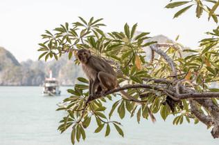 cute Monkey on the idyllic island at Halong Bay in Vietnam