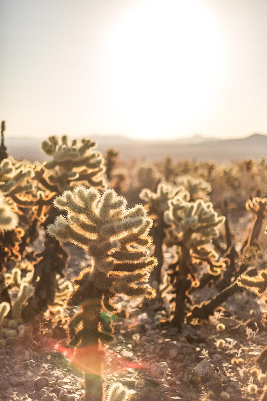 beautiful cacti in Joshua Tree Nationalpark