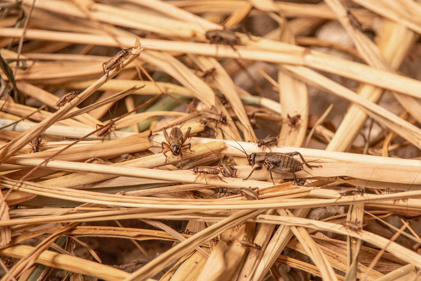 Cricket farm in Dalat in Vietnam