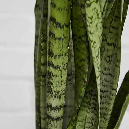 sansevieria-zeylanica-f6eeb1.jpg