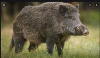 Feral Hog screen shot 2.png