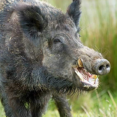 Feral Hog Screen shot ugly.png