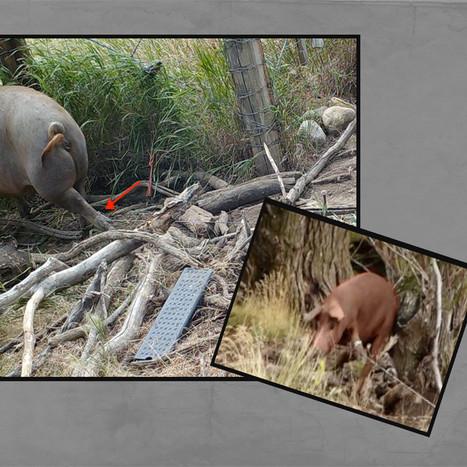 FB Promo 2 pigs.jpg