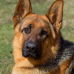 german shepard dog_edited.jpg