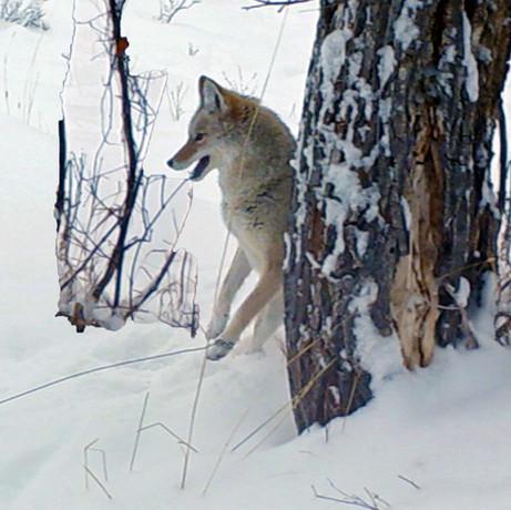 Coyote website.jpg