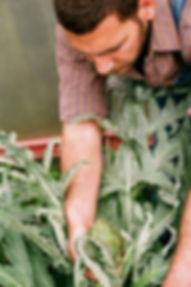 Artichoke Picking