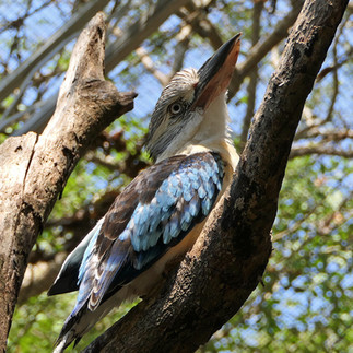 Port Moresby Nature Pk Blue kookaburra.j