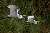 PA 2  Egrets on Sepik River038_IMG_6393