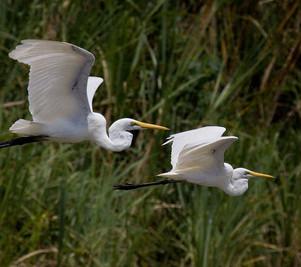 PA 2  Egrets on Sepik River038_IMG_6393