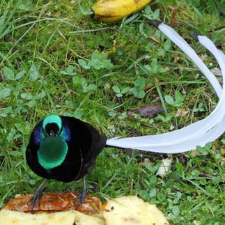 Ribbon tailed Astripa bird of paradise M