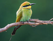 Rainboe Bee Eater Ath Tab Crop 2nd 64877