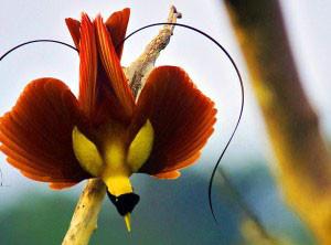 PA 8 Bird-of-Paradise-Red-300x250.jpg