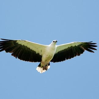 PA 9 White-bellied Sea-eagle.08jul2009_2