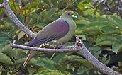 Ryukyu Green Pigeon.jpg