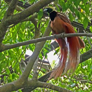 Port Moresby Nature Pk BOP.jpg